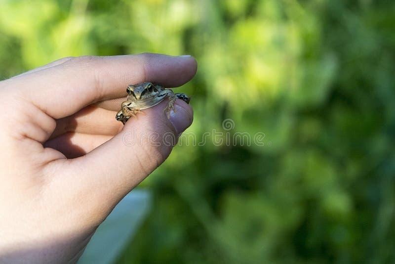 Una rana en su mano fotografía de archivo