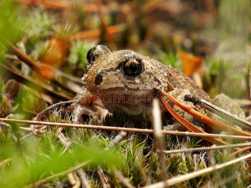 Una rana en una hierba fotografía de archivo