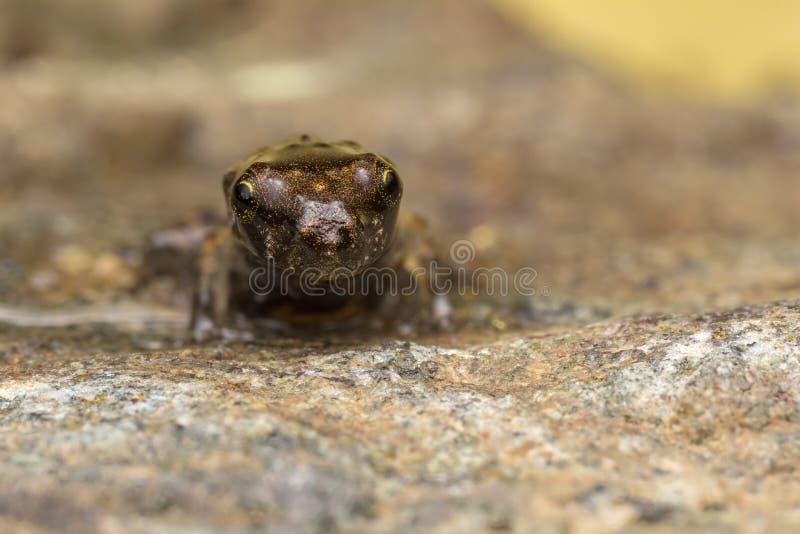 Una rana minúscula, el 1cm de tamaño foto de archivo