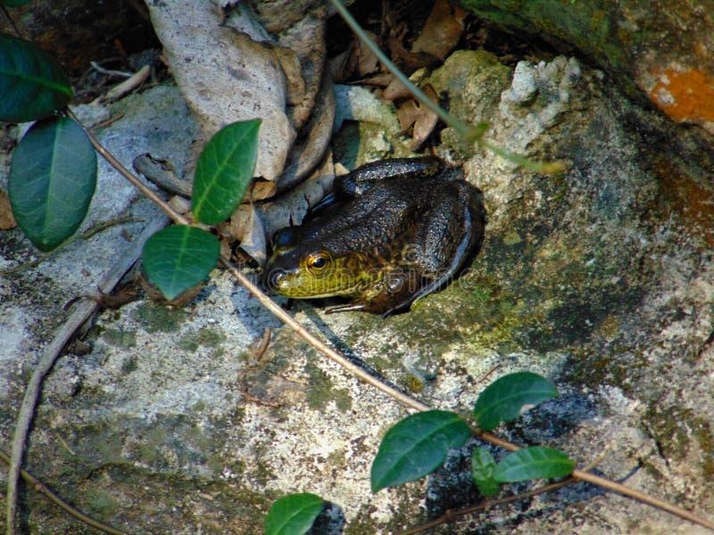 Una rana que consigue un poco de sol de la madrugada fotografía de archivo libre de regalías