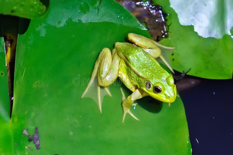 Una rana verde foto de archivo