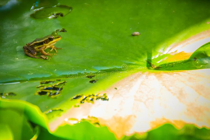 Una rana verde linda en la hoja del loto en la charca Rana de Guangdong (macrodactyla de Hylarana), también conocida como la rana imagen de archivo libre de regalías