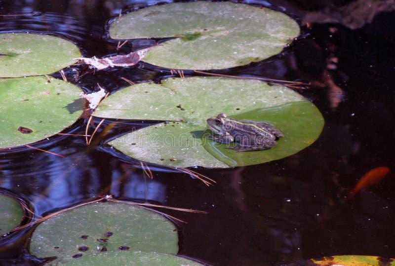 Una rana verde que se sienta en la charca por completo de los lirios de agua Rana en una hoja del lirio de agua imagen de archivo libre de regalías