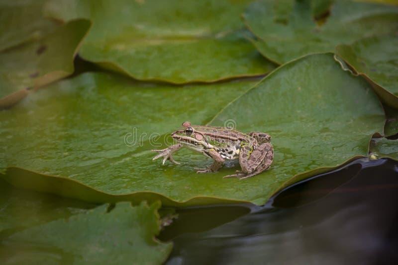 Una rana verde se sienta en una hoja verde del lirio en una charca imagenes de archivo