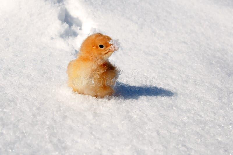 Una raza de Hedemora de Suecia en nieve, con un pollo viejo del día fotos de archivo