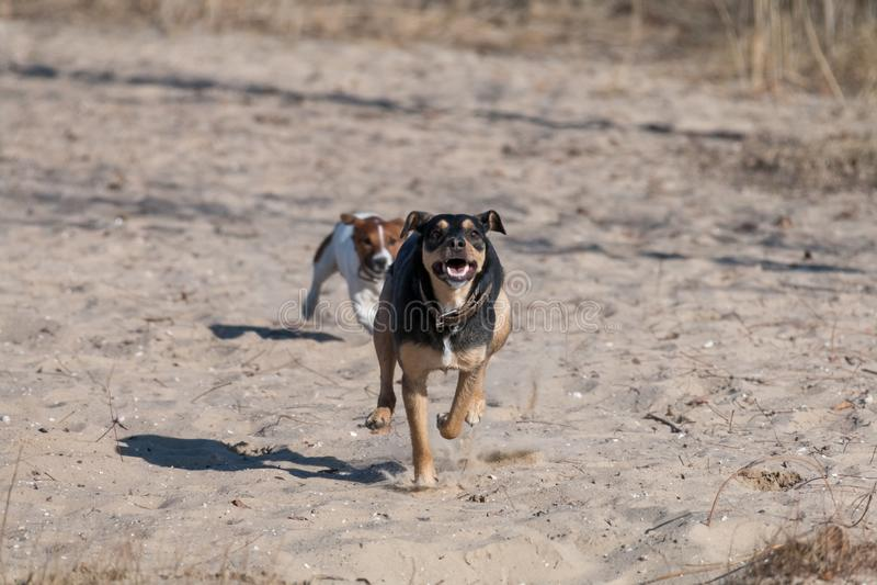 Una raza Liso-cabelluda de Jagdterrier del perro joven camina en una tarde soleada con una novia en una playa arenosa y una hierb fotos de archivo libres de regalías