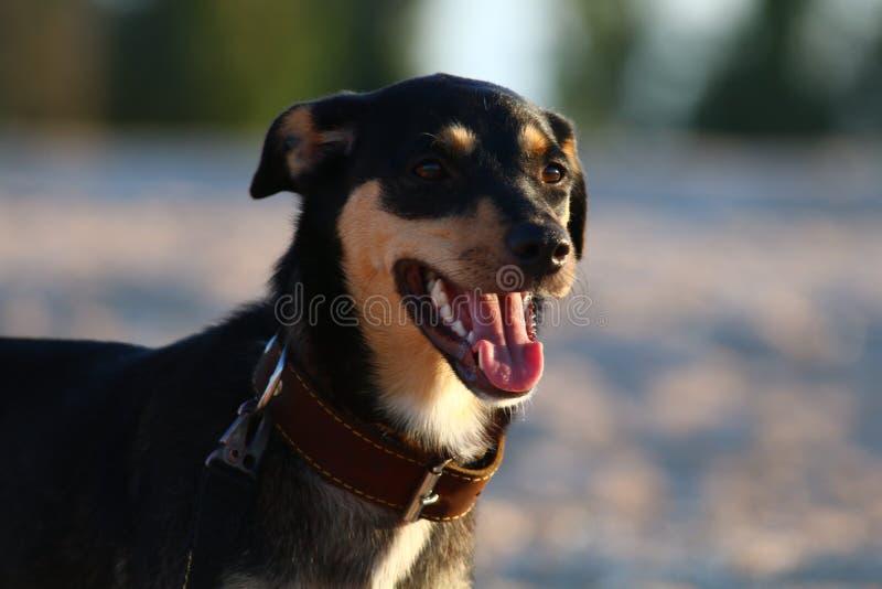 Una raza Liso-cabelluda de Jagdterrier del perro joven camina en una tarde soleada con una novia en una playa arenosa y una hierb foto de archivo