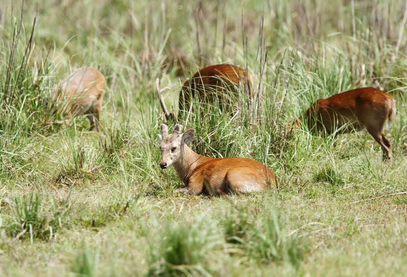 Una reclinación hermosa de los ciervos del cerdo imagen de archivo libre de regalías