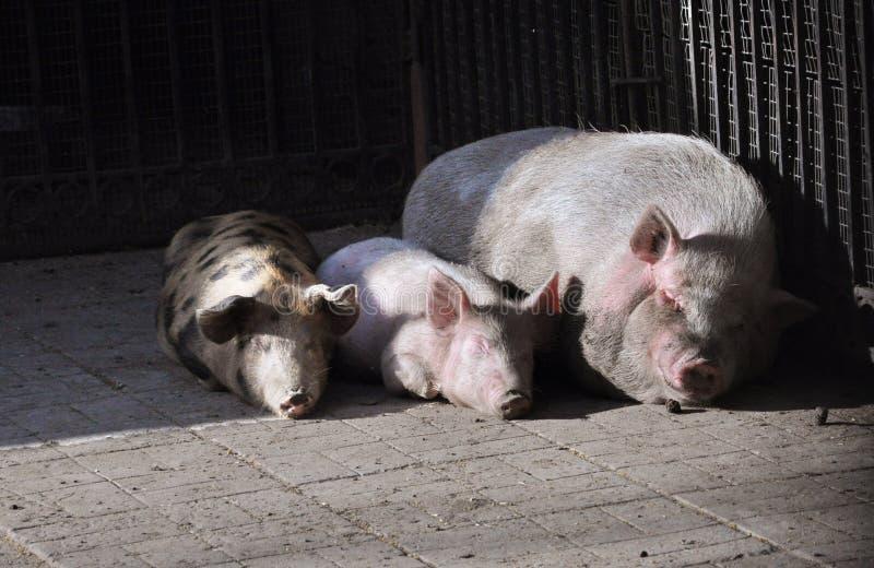 Una refrigerazione di tre maiali fotografia stock