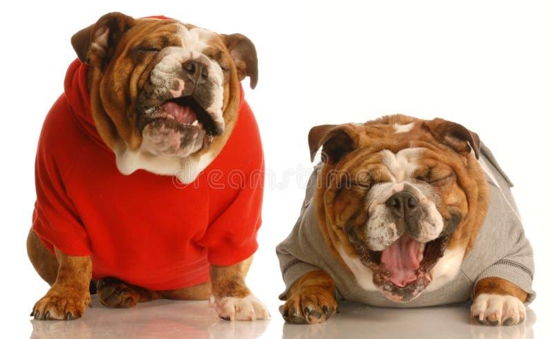 Una risata dei due cani fotografie stock