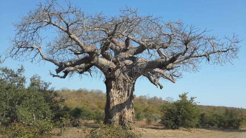 Una riserva di caccia sudafricana dell'albero del baobab fotografia stock