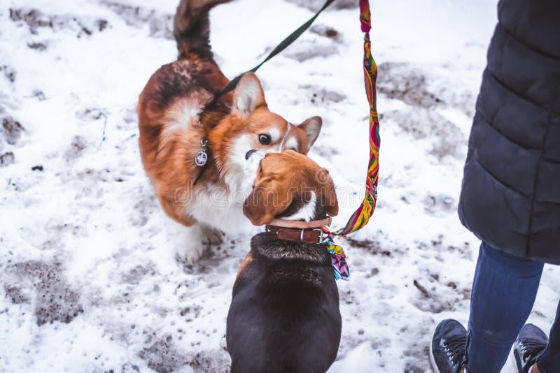 Una riunione di due cani degli amici ad orario invernale Cane del cane da lepre ed il suo amico fotografia stock