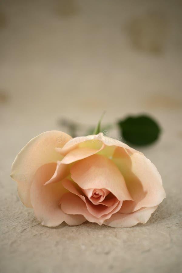 Una rosa imagen de archivo libre de regalías