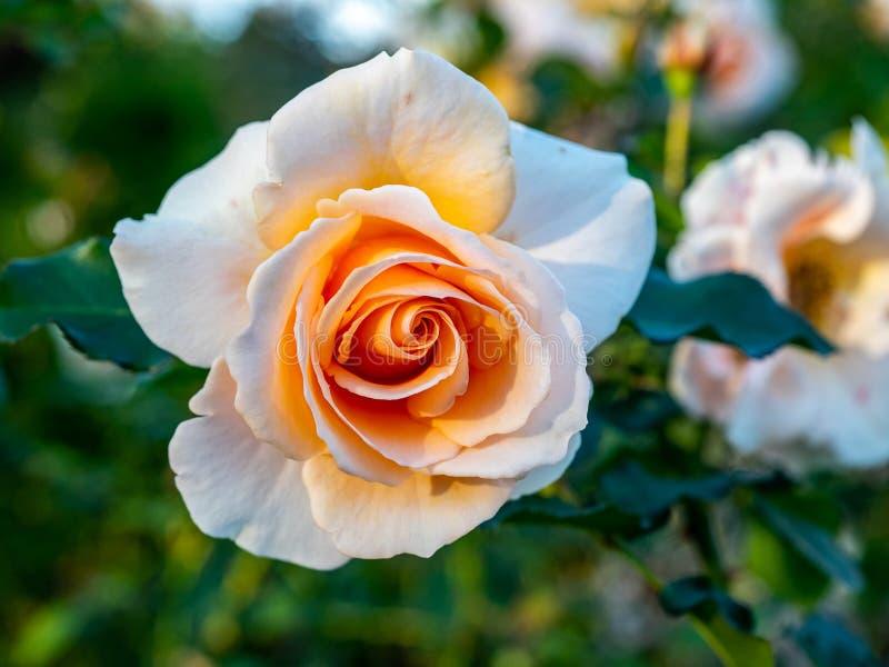 Una rosa amarillo claro florece en una rosaleda en un parque japonés foto de archivo