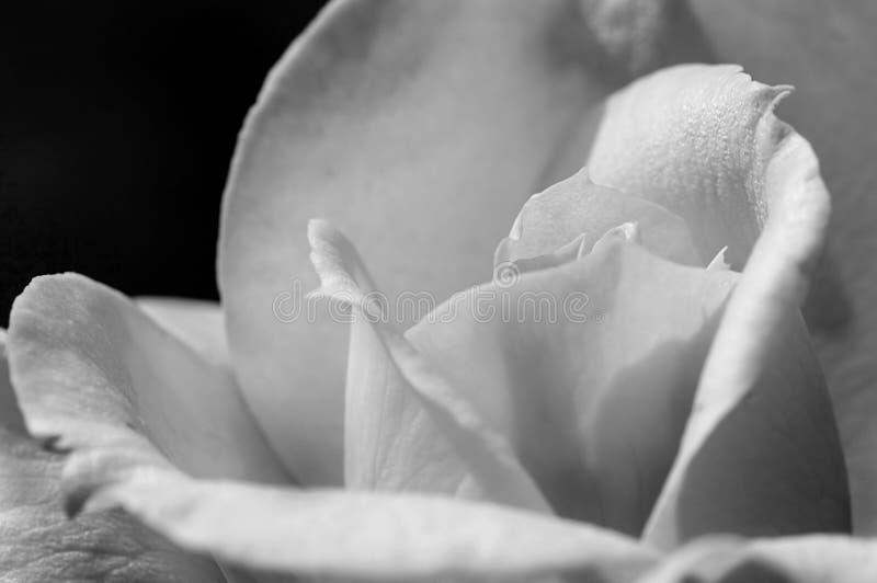 Una rosa bajo luz delicada fotos de archivo