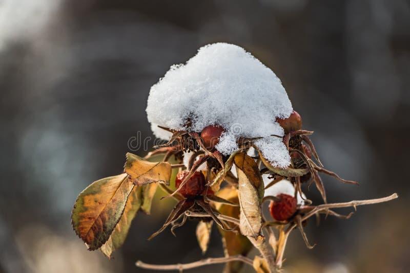 Una rosa canina con le foglie gialle e la neve bianca asciutta rossa e di frutti è su un fondo vago in autunno fotografie stock