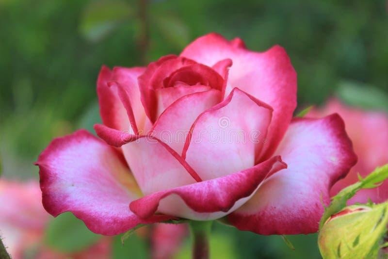 Una rosa coloreada que riela en varios colores foto de archivo