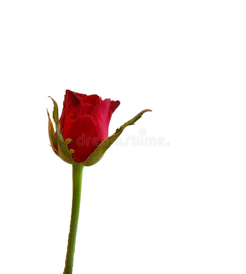 Una rosa del rojo aislada en el fondo blanco imagen de archivo
