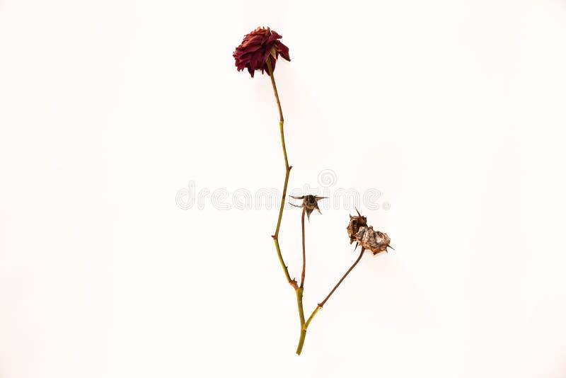Una rosa del rojo colocada en un fondo blanco fotografía de archivo