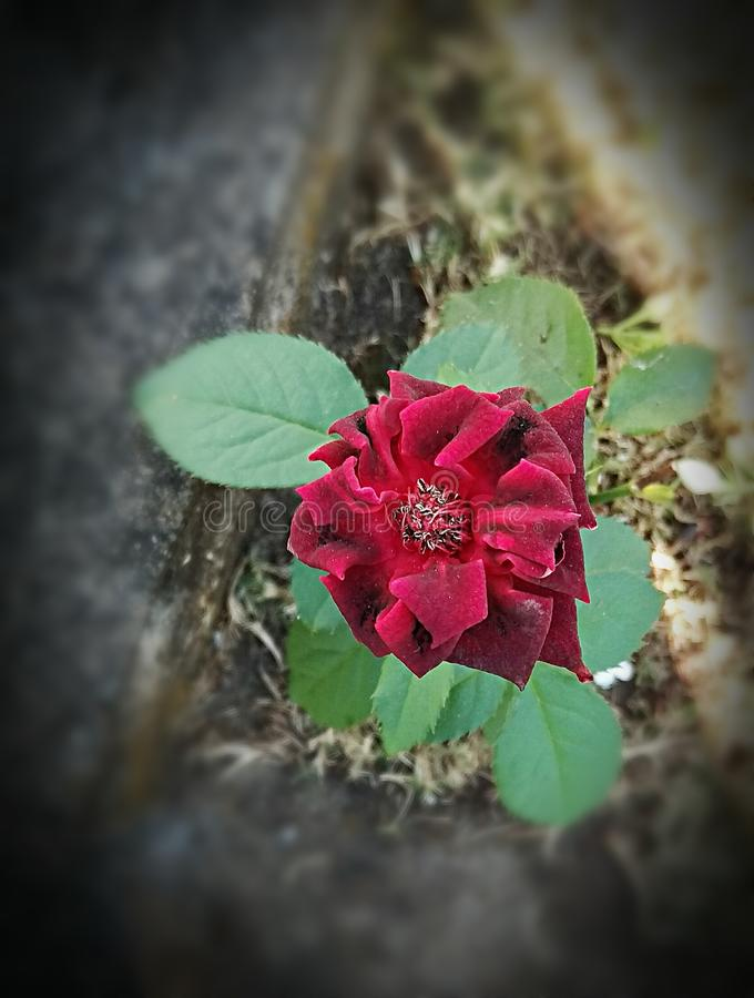 Una rosa del rojo del superviviente imagenes de archivo