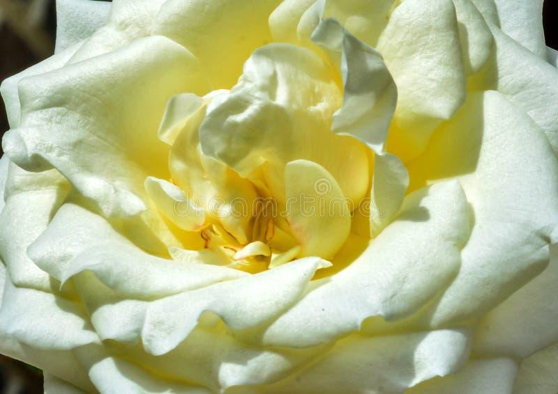 Una rosa di bianco del primo piano fotografie stock libere da diritti