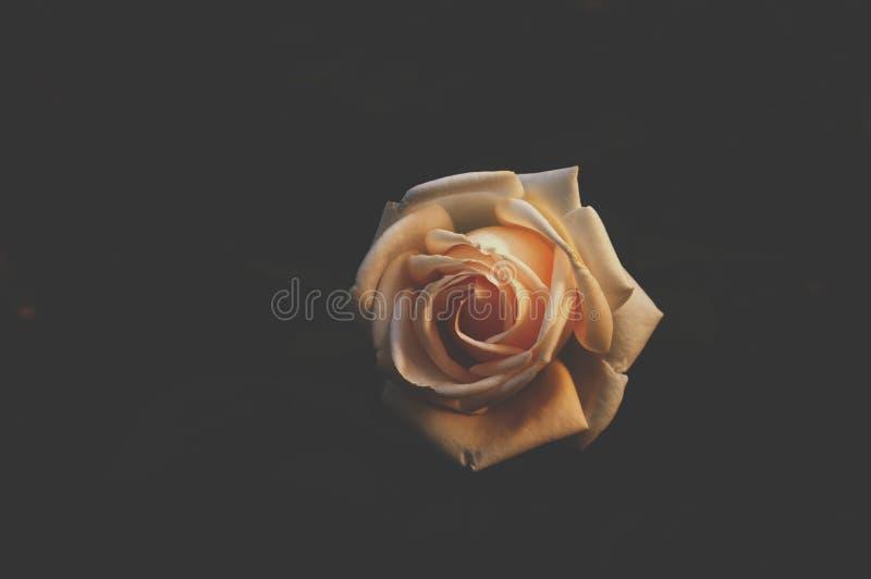 Una rosa en la oscuridad fotos de archivo libres de regalías