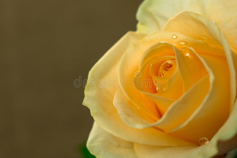 Una rosa gialla su un fondo beige, macro immagine stock