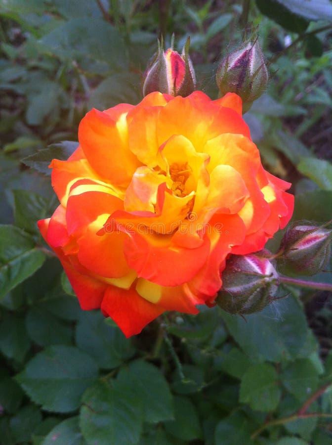Una rosa hermosa, como la lava de un volcán, mañana, Odessa, 2017 imagenes de archivo