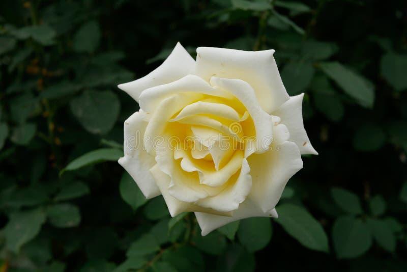Una rosa hermosa del blanco en la floración fotografía de archivo libre de regalías