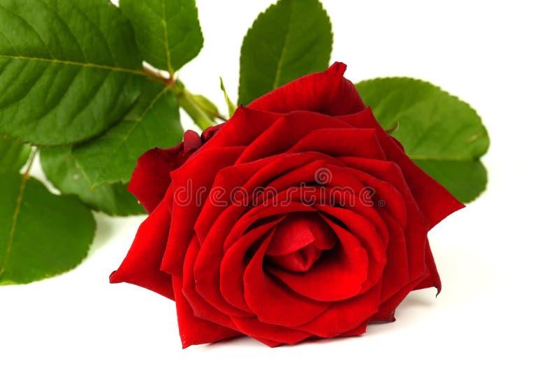 Una rosa hermosa del rojo aislada en el fondo blanco fotografía de archivo libre de regalías