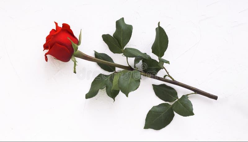 Una rosa hermosa del rojo en un fondo blanco fotos de archivo