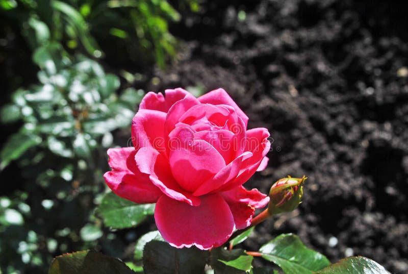 Una rosa nel giardino fotografie stock