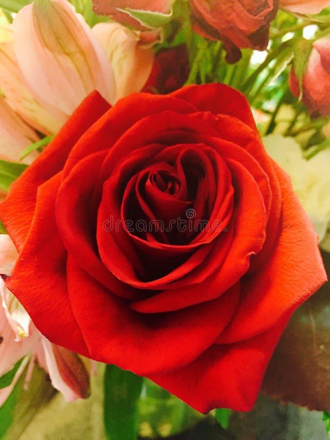 Una rosa preciosa del rojo de mi amor foto de archivo