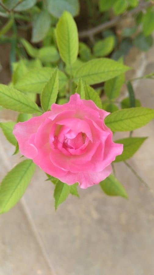 Una rosa rara del rosa imágenes de archivo libres de regalías