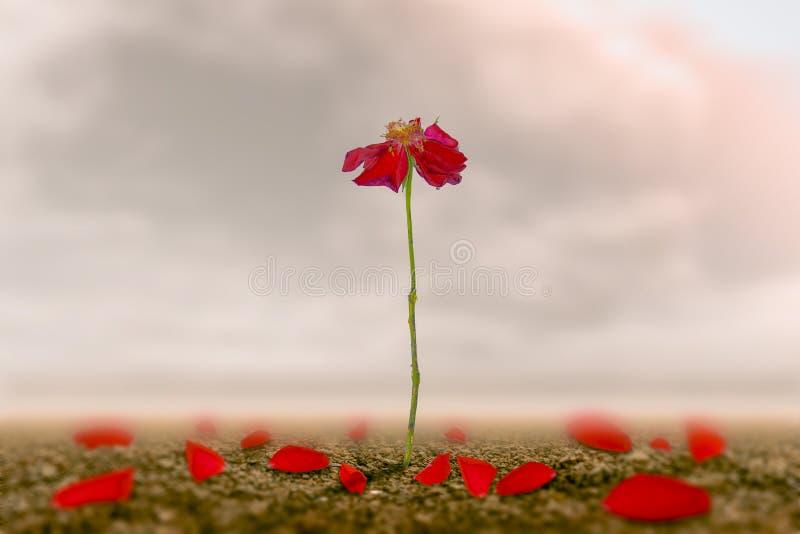 Una rosa romantica sulla terra di amore che è fatto come simbolo di amore e di libertà fotografia stock libera da diritti