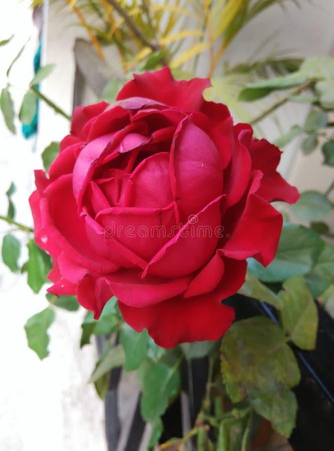 Una rosa rossa per mia madre fotografia stock