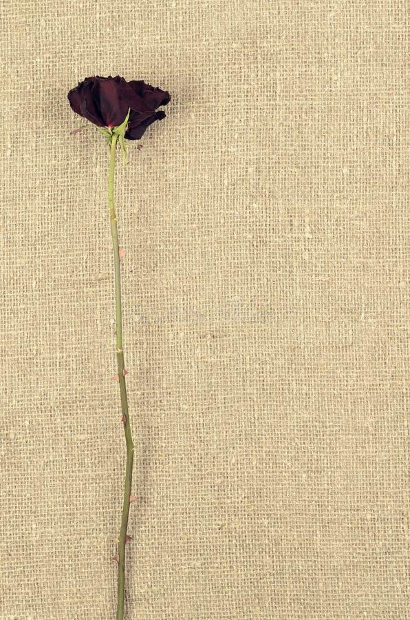 Una rosa seca larga del rojo en fondo de la lona de lino imagen de archivo libre de regalías
