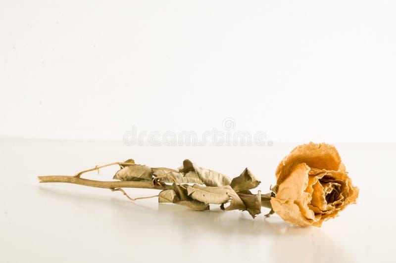 una rosa secada aislada foto de archivo libre de regalías
