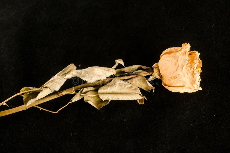 una rosa secada aislada imagenes de archivo