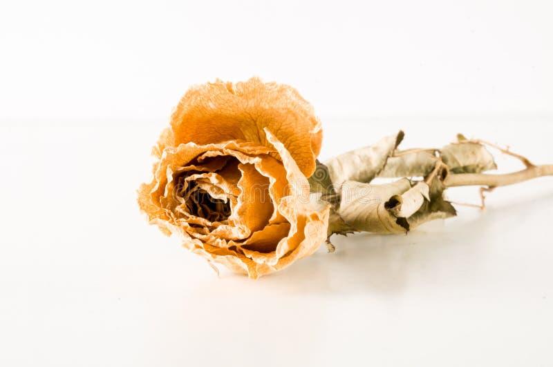 una rosa secada aislada fotos de archivo