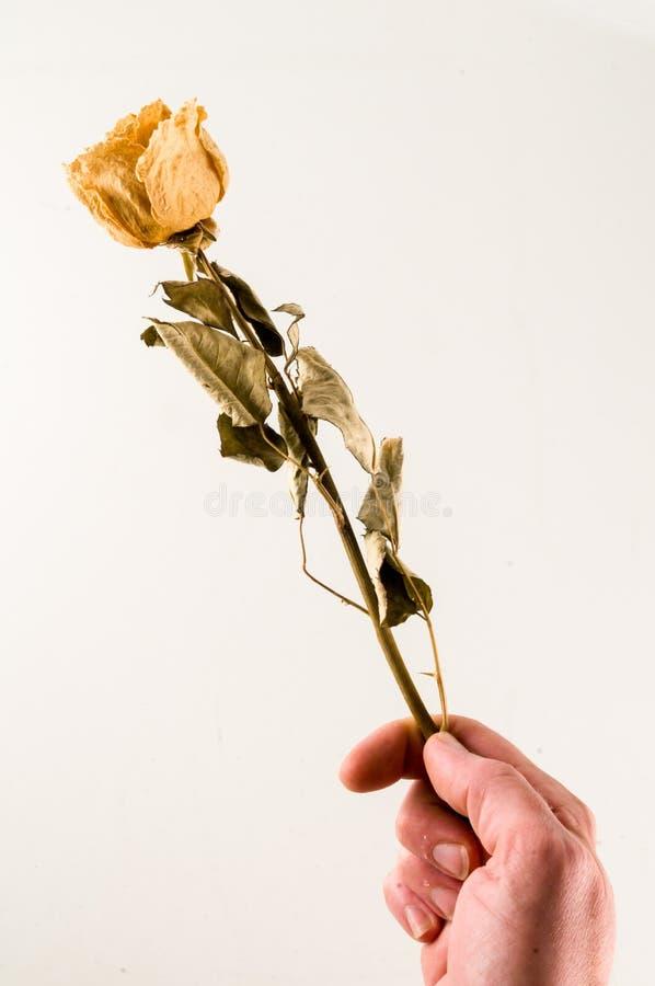 una rosa secada aislada fotografía de archivo