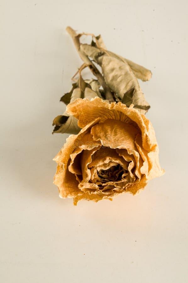 una rosa secada aislada fotos de archivo libres de regalías