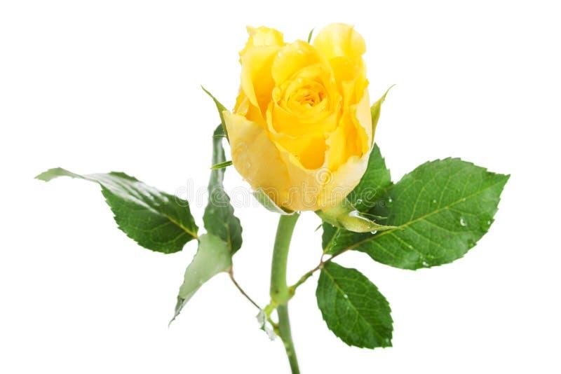 Una Rosa Separada Del Rosa. Imagen de archivo - Imagen de floral ...