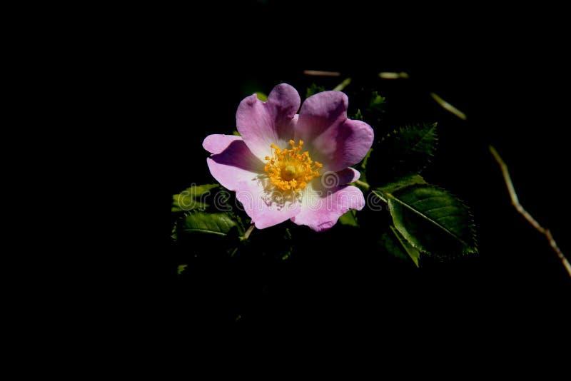 Una Rose And Young Green Leaves salvaje rosada dulce imagen de archivo libre de regalías