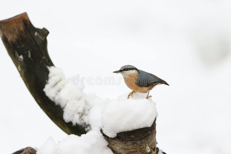Una scena dell'inverno di un europaea sbalorditivo del Sitta della sitta si è appollaiata su un vecchio ceppo di albero coperto i immagine stock libera da diritti