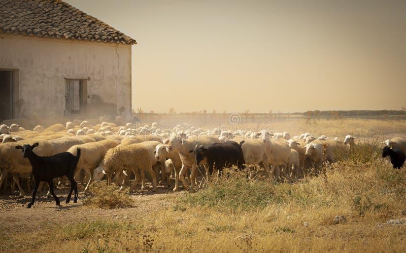 Una scena rurale con una moltitudine di pecore immagine stock libera da diritti