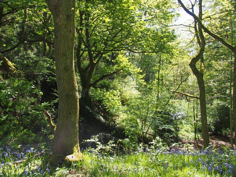 Una scena soleggiata del terreno boscoso con luce che splende sulle foglie e sugli alberi con la terra tappezzata dalle campanule fotografie stock