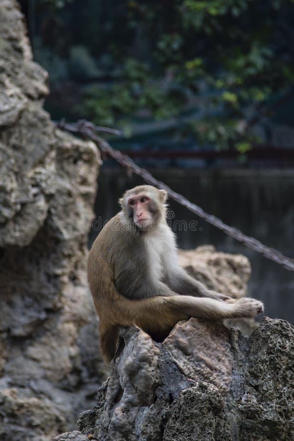 Una scimmia annoiata confusa al sole fotografie stock