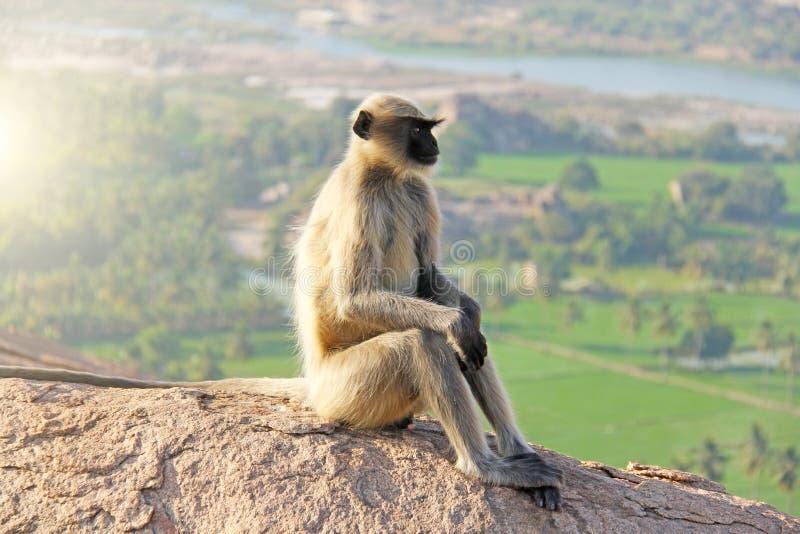 Una scimmia con un fronte nero o un muso si siede sopra una montagna in India, Hampi, sul supporto Hanuman fotografia stock libera da diritti