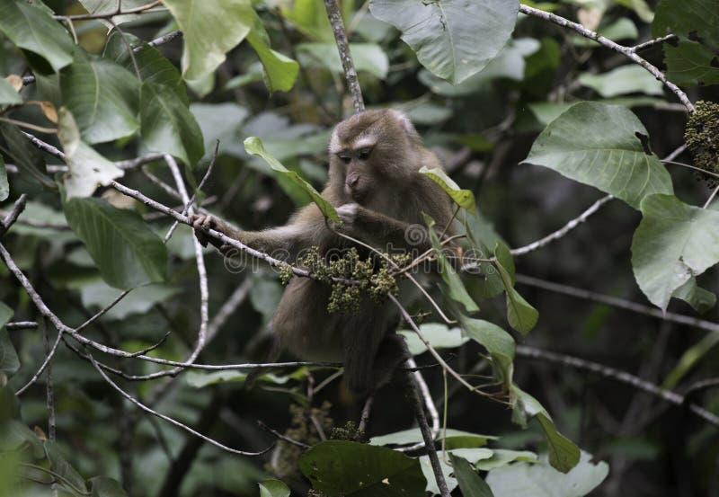 Una scimmia della fauna selvatica immagine stock libera da diritti